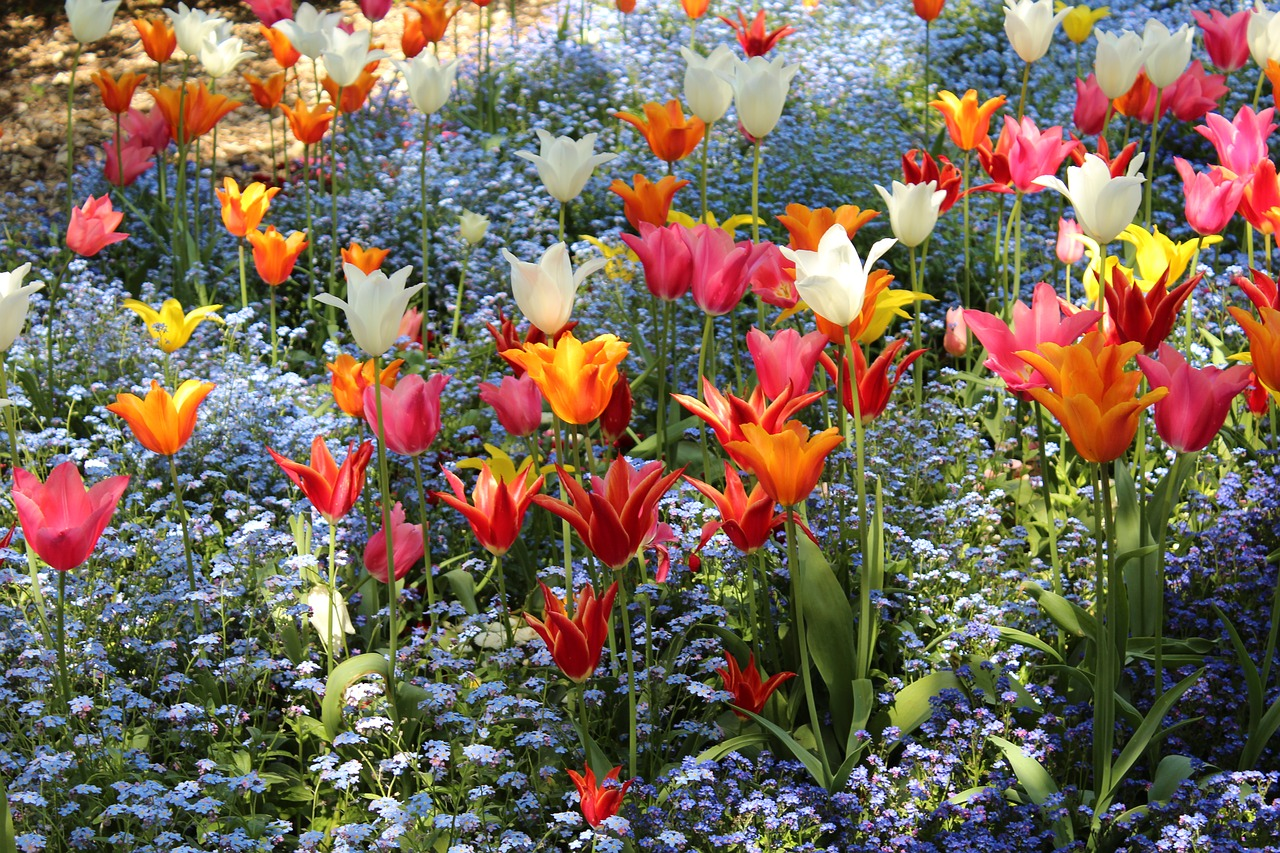 Brightly colored tulips in an outdoor garden.